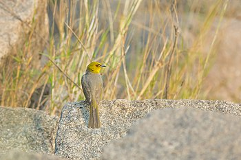 Yellow-throated Bulbul-3879.jpg