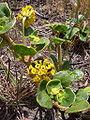 Yellow Sand Verbena (Abronia latifolia) (143505689).jpg