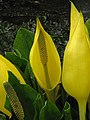 Yellow Skunk Cabbage (Lysichiton americanus) - detail - geograph.org.uk - 777405.jpg