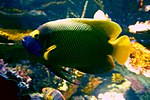 Yellowface angelfish, Baltimore Aquarium.jpg