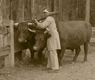 Bullocky - Yoking up the leaders of a bullock team.