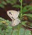 Ypthima huebneri – Common Four-ring 02.jpg