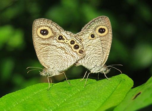 Ypthima huebneri – Common Four-ring mating 37