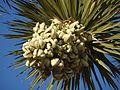 Yucca Brevifolia 02 (6921536800).jpg