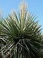 Yucca rigida closer.jpg