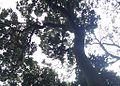 Z Assegai tree canopy - CT.JPG