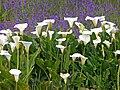 Zantedeschia aethiopica South Africa.jpg