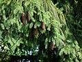 Zapfen an einem Nadelbaum.JPG