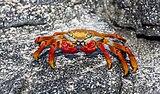 Zayapa (Grapsus grapsus), Las Bachas, isla Santa Cruz, islas Galápagos, Ecuador, 2015-07-23, DD 30.jpg