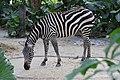 Zebra Singapore zoo 01.jpg