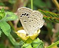Zizina otis - Lesser Grass Blue - Begur Butterfly Survey 2.jpg