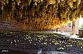 ((( میلاخ)خشگبار مراغه) انگور))) - panoramio.jpg