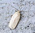 (0700) Agonopterix pallorella (17390574544).jpg