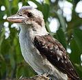 (1)Kookaburra 017.jpg