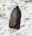 (1047) Acleris schalleriana (15318330920).jpg