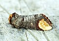 (1994) Buff-tip (Phalera bucephala) (7285069624).jpg