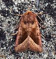 (2361) Rosy Rustic (Hydraecia micacea) (5985852962).jpg