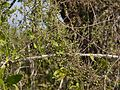 ¿ Salvadora persica ? (5386814100).jpg