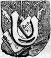 Żywe kamienie - initials by Jerzy Hulewicz - U (2).png