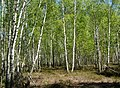 Березово-вересковий ліс по берегам болота.jpg