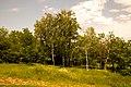 Березы в Ботаническом саду ЮФУ г. Ростов-на-Дону.jpg