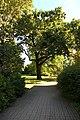Ботанический сад. Дуб черешчатый.jpg