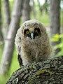 Горската ушата сова Asio otus.jpg
