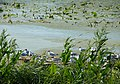 Заказник орнітологічний Барський, чайки 2.jpg