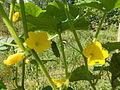 Квітки та плоди огірочка 210.jpg
