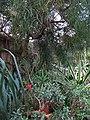 Криворізький ботанічний сад НАНУ - оранжерея, тропічні дерева1.JPG