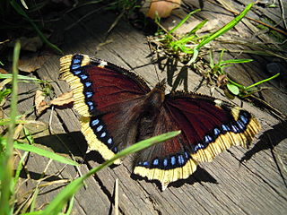 <i>Nymphalis antiopa</i> Species of butterfly