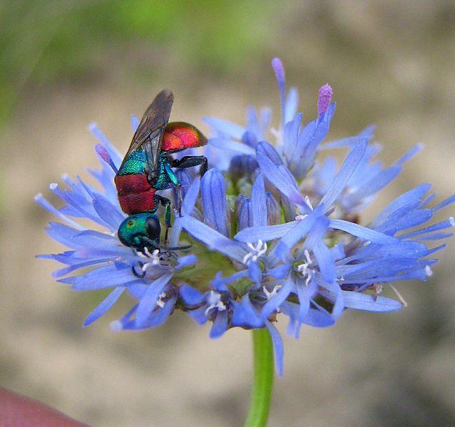 Оса-блискітка харчується на квітах букашника. Фото: Мартинова Катерина, вільна ліцензія CC BY-SA 4.0