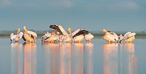 Tuzly Lagoons National Nature Park - Image: Ранкові процедури у пеліканів