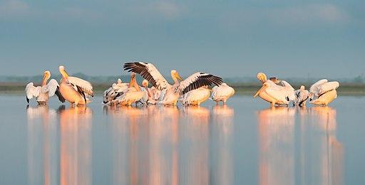 Ранкові процедури у пеліканів