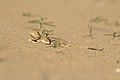 Ушастая круглоголовка (Phrynocephalus mystaceus).jpg