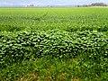 ירוק בעמק החולה.jpg