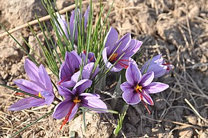 Crocus - Crocus sativus