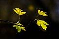 برگ زرد-پاییز-yellow leaves-falling leaves 31.jpg