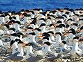 طائر الخرشنه - محميات جنوب البحر الاحمر.jpg