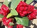 लाली गुराँस फूल Rododrendron 02.jpg