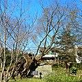 土田の大ケヤキ 2012.2.20 - panoramio.jpg