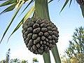 小笠原露兜樹 Pandanus boninensis -沖繩東南植物樂園 Southeast Botanical Gardens, Okinawa- (9580672609).jpg