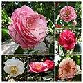 山茶花 Camellia japonica cultivars 2 -日本京都植物園 Kyoto Botanical Garden, Japan- (39787220610).jpg