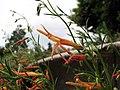 松葉釣鐘柳 Penstemon pinifolius -維也納高山植物園 Belvedere Alpine Garden, Vienna- (29125710745).jpg