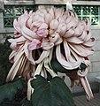 菊花-寶蓮燈 Chrysanthemum morifolium 'Precious Lotus Lamp' -香港圓玄學院 Hong Kong Yuen Yuen Institute- (11961469593).jpg