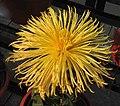 菊花-松針型 Chrysanthemum morifolium Pine-needle-tubular-series -中山小欖菊花會 Xiaolan Chrysanthemum Show, China- (9216115800).jpg