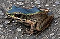 藍色斯文豪氏赤蛙1.jpg