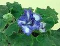 非洲紫羅蘭 Saintpaulia Ko's Toronto Friendship -香港北區花鳥蟲魚展 North District Flower Show, Hong Kong- (23853461260).jpg