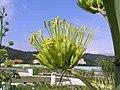 龍舌蘭 Agave americana -台北花博 Taipei Flora Expo- (9222680716).jpg