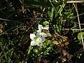 -2018-09-29 The flower of the Grass-of-Parnassus (Parnassia palustris), Southrepps common (1).JPG